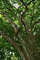 Mature Santol tree in the Philippines -- 1.jpg