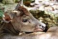Mazama americana in Barbados Wildlife Reserve 05.jpg