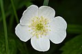 Meadow Anemone (Anemone canadensis) - Guelph, Ontario.jpg