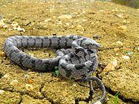 Мачја змија