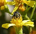 Megachilidae (32924404751).jpg