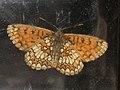 Melitaea athalia - Heath fritillary - Шашечница аталия (41108841692).jpg