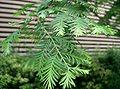 Metasequoia glyptostroboides5.jpg