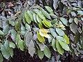 Meteoromyrtus wynaadensis 24.JPG