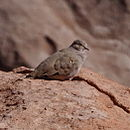 Metriopelia aymara - Golden-spotted ground dove.jpg