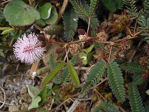 Mimose (Mimosa pudica)