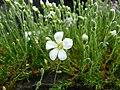 Minuartia laricifolia 610.JPG