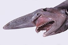 Goblin shark - Wikipedia