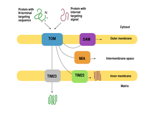 Mitochondrial biogenesis - Mitochondrial proteins encoded from the nuclear genome need to be targeted and transported appropriately into the mitochondria.