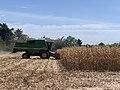 Moissonnage du maïs en septembre 2020, rue des Andrés, Saint-Maurice-de-Beynost, Ain, France (5).jpg