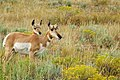 Momma and Baby Pronghorn (3906902987).jpg