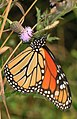 Monarch - Danaus plexippus, Meadowood Farm SRMA, Mason Neck, Virginia (35721532092).jpg