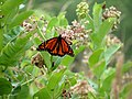 Monarch and friends (28201446563).jpg