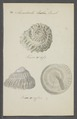 Monodonta spec. - - Print - Iconographia Zoologica - Special Collections University of Amsterdam - UBAINV0274 082 21 0002.tif