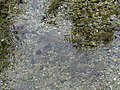 Montanejos. Fuente de los Baños. Madrijas (chondrostoma turiense) 1.jpg
