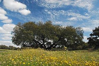 """Monumento natural """"Encina de la Dehesa San Francisco"""".jpg"""
