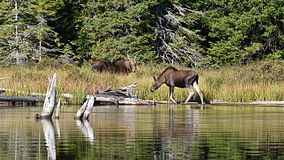 Moose (Alces alces), Female and Juvenile - Algonquin Provincial Park, Ontario.jpg