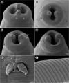 Moravec & Justine Spirurida 2020 parasite190153-fig5.png