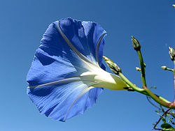 Morning glory 5b.jpg