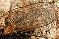 Morpholeria.ruficornis9.-.lindsey.jpg