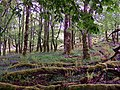 Moss covered trees - geograph.org.uk - 1315238.jpg