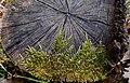 Moss on Stump Мъх на корен — копия.jpg