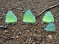 Mottled Emigrant Butterflies (Catopsilia pyranthe) at Kambalakonda 02.jpg