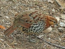 Mountain Bamboo-partridge ( Bambusicola fytchii) RWD.jpg