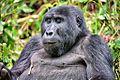 Mountain Gorilla, Bwindi, Uganda (15277690748).jpg