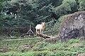 Mountain goat in the zoo.jpg