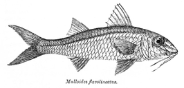 Mulloides flavolineatus
