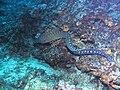 Muraena helena swimming.jpg