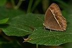Mycalesis mineus-Kadavoor-2016-11-27-001.jpg