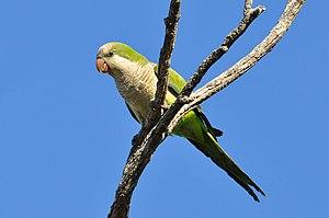 Monk parakeet - Image: Myiopsitta monachus Punta del Diablo, Rocha, Uruguay 8