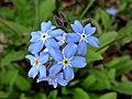 Myosotis sylvatica (Boraginaceae) - (flowering), Twickel, the Netherlands.jpg