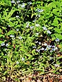 Myosotis sylvatica Prague 2014 1.jpg