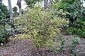 Myrciaria cauliflora 32zz.jpg
