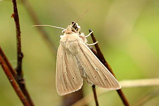 <i>Mythimna pallens</i> species of insect