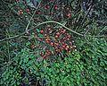 N20141205-0001—Nandina domestica—Berkeley (15812916599).jpg