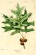 NAS-027f Quercus palustris.png