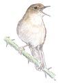 Nachtegaal Luscinia megarhynchos Jos Zwarts 3.tif