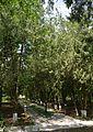 Naddniprianske Arboretum of Agriculture Institute of Southern Region 06 (YDS 2260).jpg