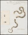 Naja lubrica - 1734-1765 - Print - Iconographia Zoologica - Special Collections University of Amsterdam - UBA01 IZ11800019.tif