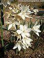 Narcissus broussonetii.jpg