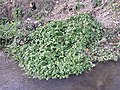 Nasturtium officinale (s. str.) sl81.jpg