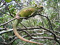 Natalmidlandsdwarfchameleon.jpg