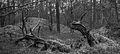 Nationaal Park Drents-Friese Wold. Locatie Dieverzand. Dode boom, belangrijke voedselbron in evenwichtig biotoop zw.jpg