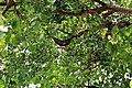 Natural Beehive and Honeycombs in the hollow of Peepal Tree2.jpg