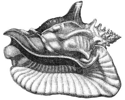 Natural History - Mollusca - The Giant Strombus.png