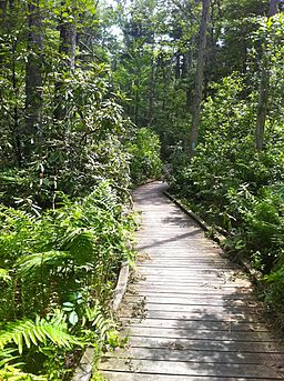 Rhododendron Sanctuary Trail's planked wooden boardwalk section in the Pachaug State Forest's Herman Haupt Chapman Management Area